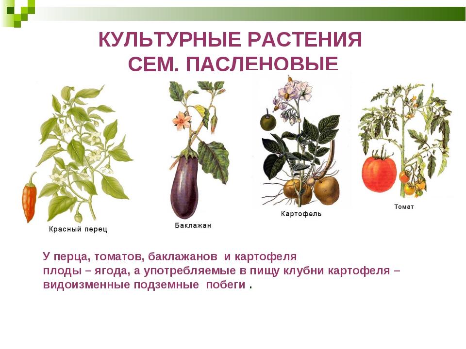 КУЛЬТУРНЫЕ РАСТЕНИЯ СЕМ. ПАСЛЕНОВЫЕ У перца, томатов, баклажанов и картофеля...