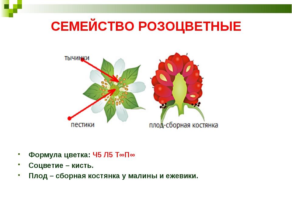 СЕМЕЙСТВО РОЗОЦВЕТНЫЕ Формула цветка: Ч5 Л5 Т∞П∞ Соцветие– кисть. Плод– сбо...