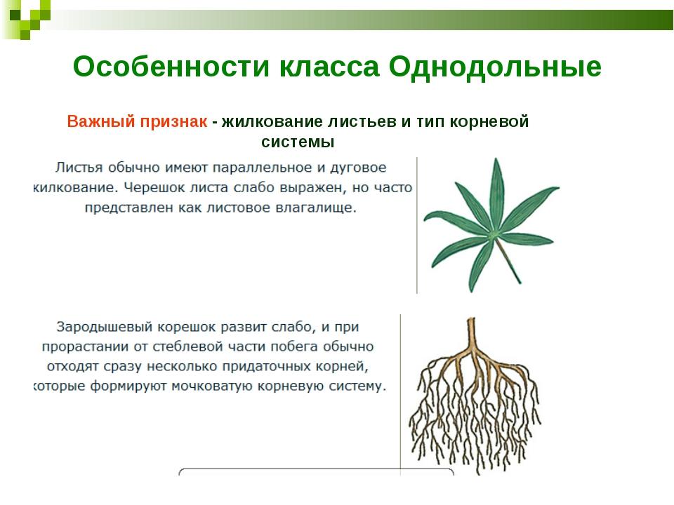Особенности класса Однодольные Важный признак - жилкование листьев и тип корн...