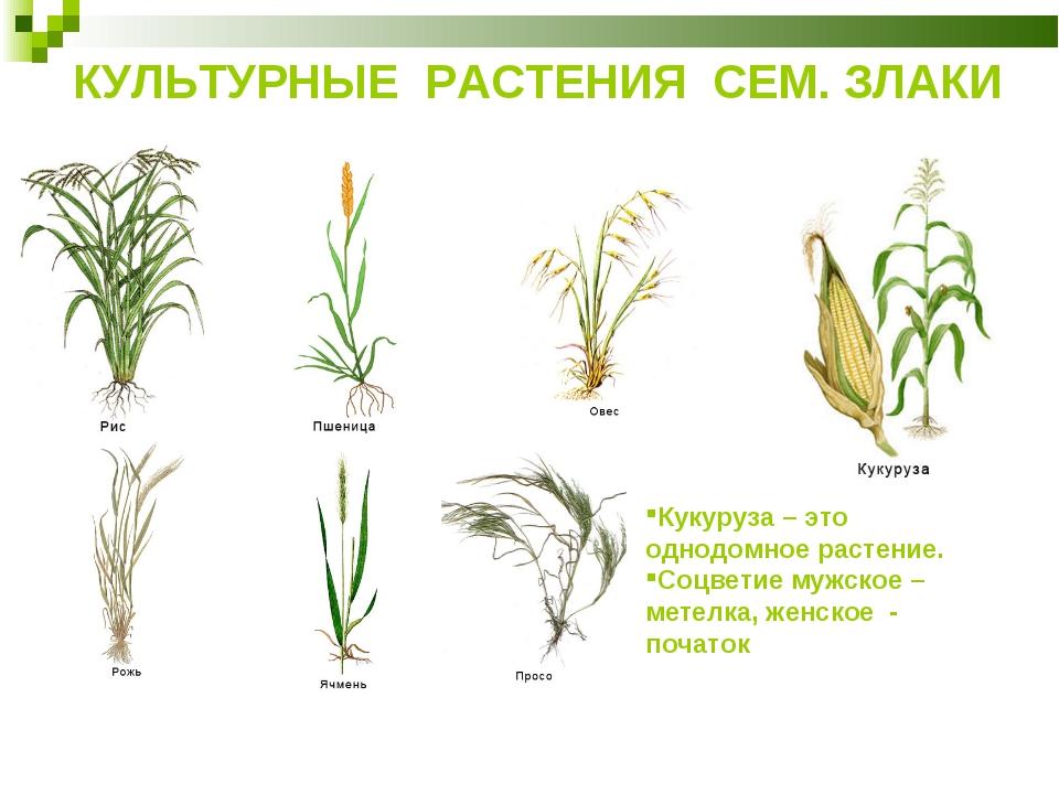 КУЛЬТУРНЫЕ РАСТЕНИЯ СЕМ. ЗЛАКИ Кукуруза – это однодомное растение. Соцветие м...