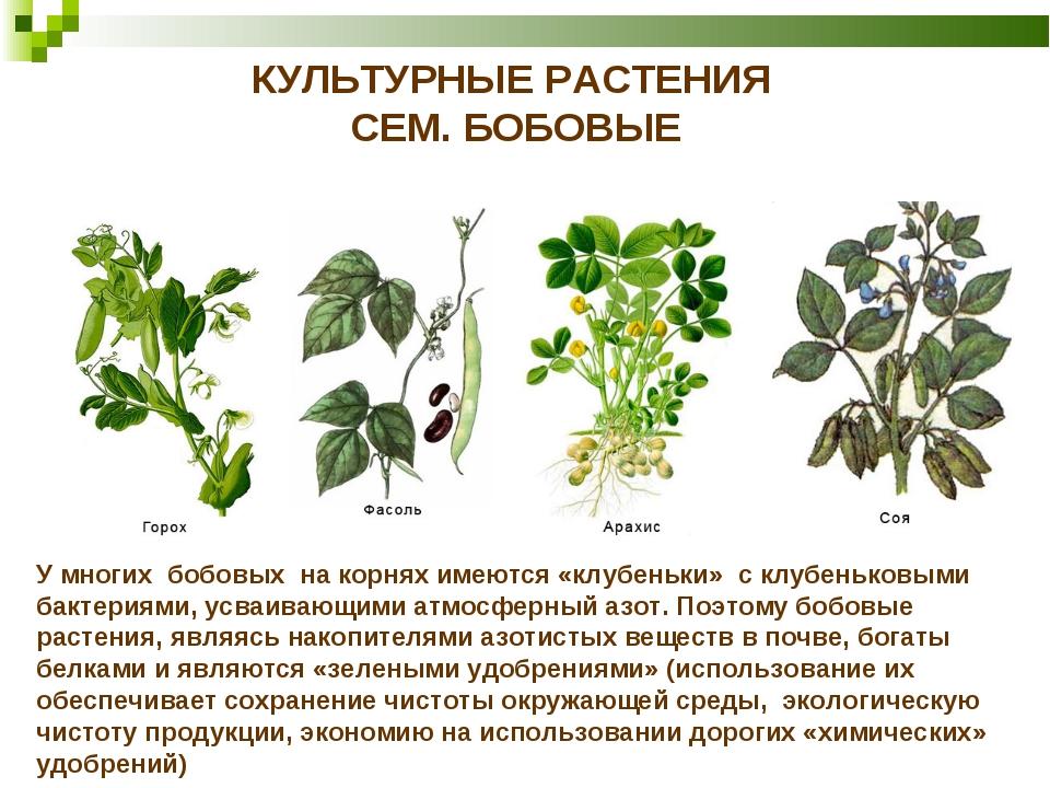 КУЛЬТУРНЫЕ РАСТЕНИЯ СЕМ. БОБОВЫЕ У многих бобовых на корнях имеются «клубеньк...