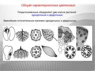 Покрытосеменные объединяют два класса растений: однодольные и двудольные. Важ