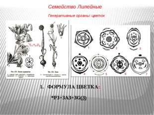 ФОРМУЛА ЦВЕТКА: *P3+3A3+3G(3) Генеративные органы: цветок Семейство Лилейные