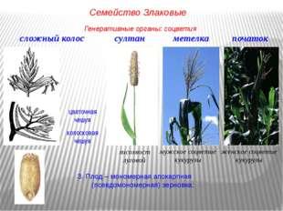 3. Плод – мономерная апокарпная (псевдомономерная) зерновка: сложный колос цв