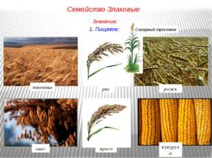 1. Пищевое: рис рожь просо овес кукуруза пшеница Семейство Злаковые Значение: