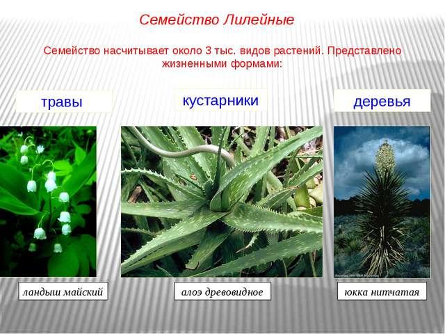 Семейство насчитывает около 3 тыс. видов растений. Представлено жизненными фо...