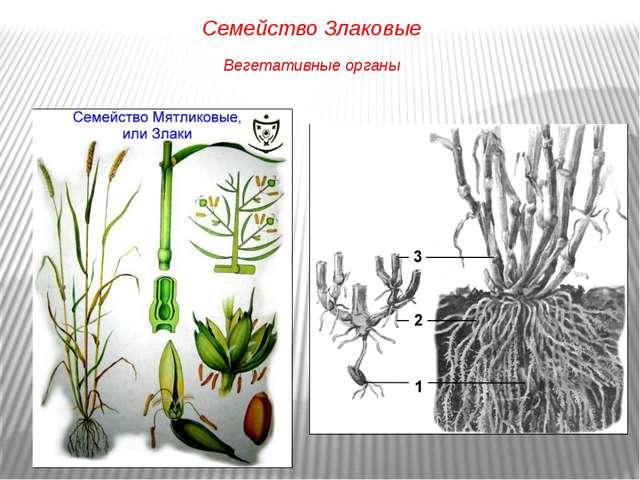 Семейство Злаковые Вегетативные органы