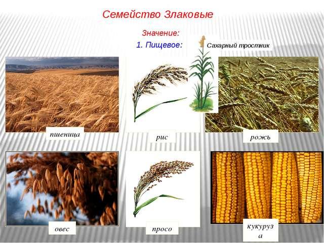 1. Пищевое: рис рожь просо овес кукуруза пшеница Семейство Злаковые Значение:...