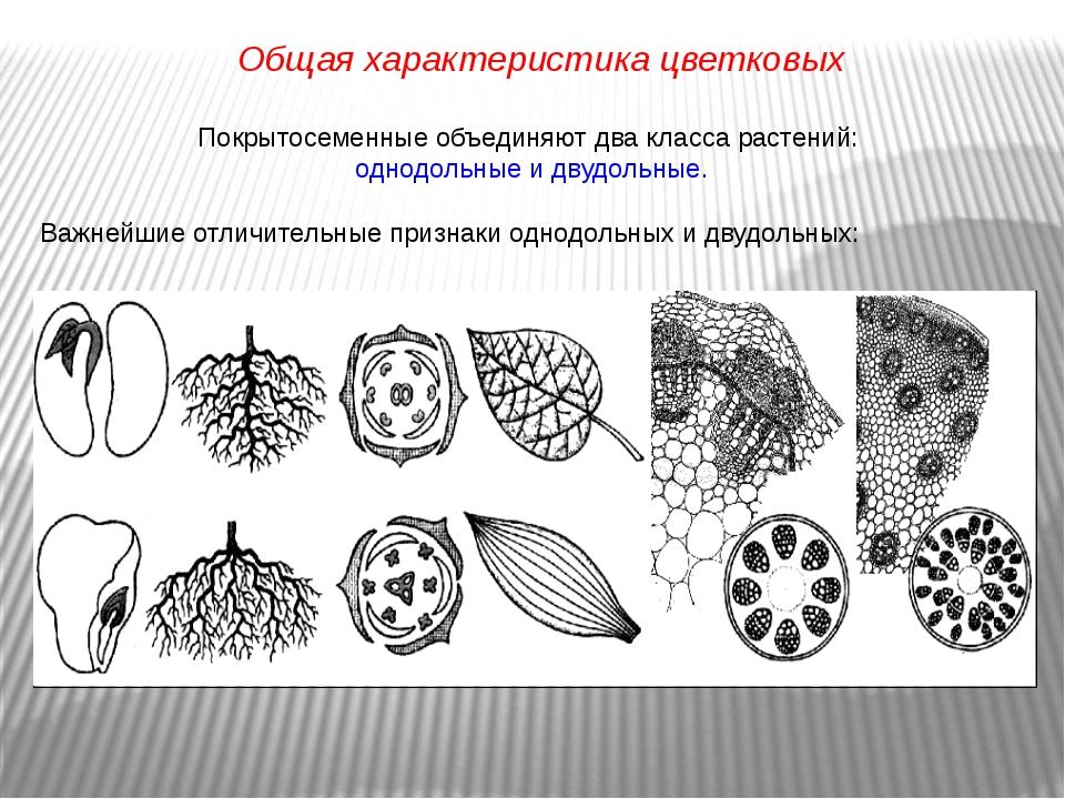 Покрытосеменные объединяют два класса растений: однодольные и двудольные. Важ...