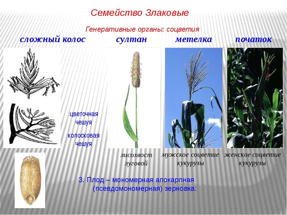 3. Плод – мономерная апокарпная (псевдомономерная) зерновка: сложный колос цв...