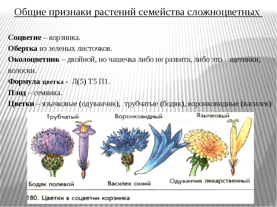 Общие признаки растений семейства сложноцветных Соцветие – корзинка. Обертка...