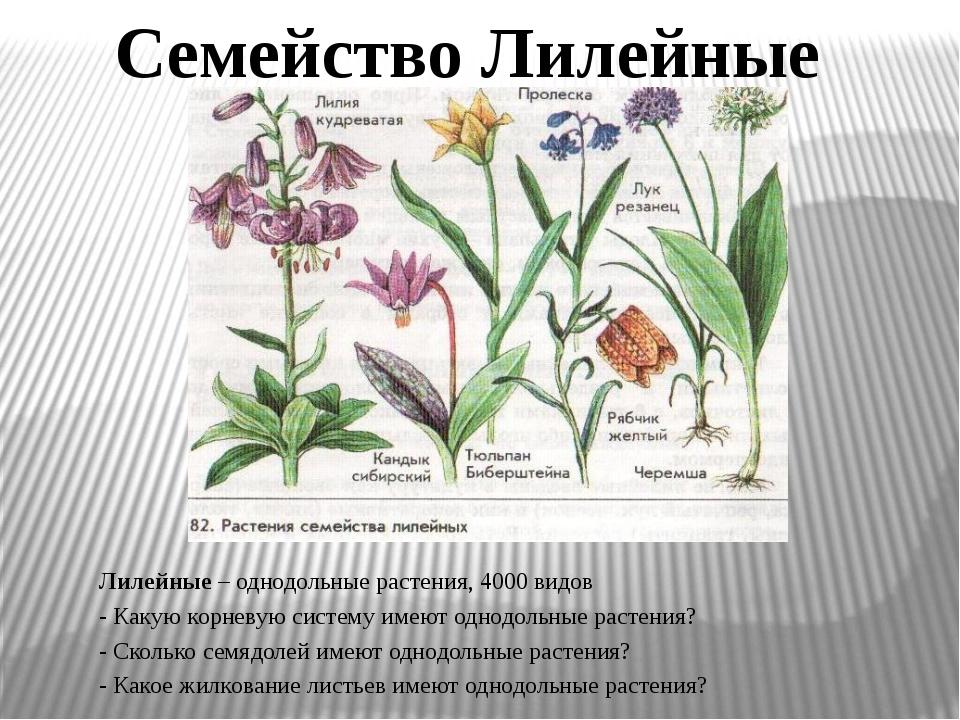 Лилейные – однодольные растения, 4000 видов - Какую корневую систему имеют од...