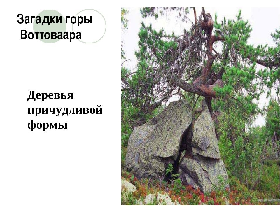 Загадки горы Воттоваара Деревья причудливой формы