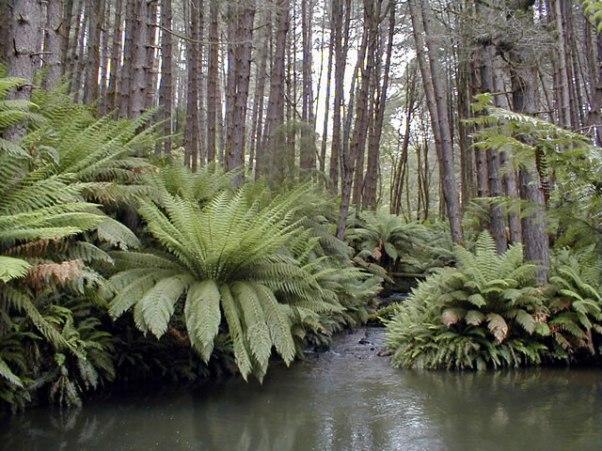 Australian-forest
