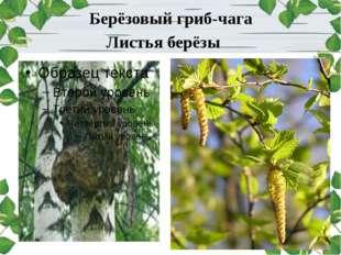 Листья берёзы Берёзовый гриб-чага