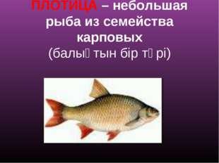 ПЛОТИЦА – небольшая рыба из семейства карповых (балықтын бір түрі)