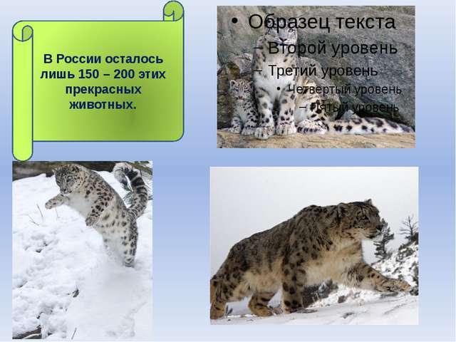 В России осталось лишь 150 – 200 этих прекрасных животных.