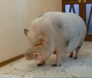 Факты о свиньях