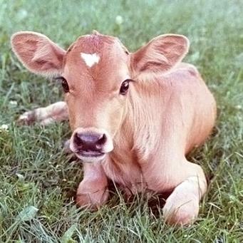 Схема кормления телят: кормление сухим молоком