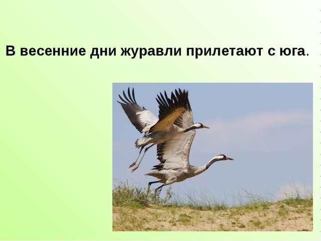 В весенние дни журавли прилетают с юга.