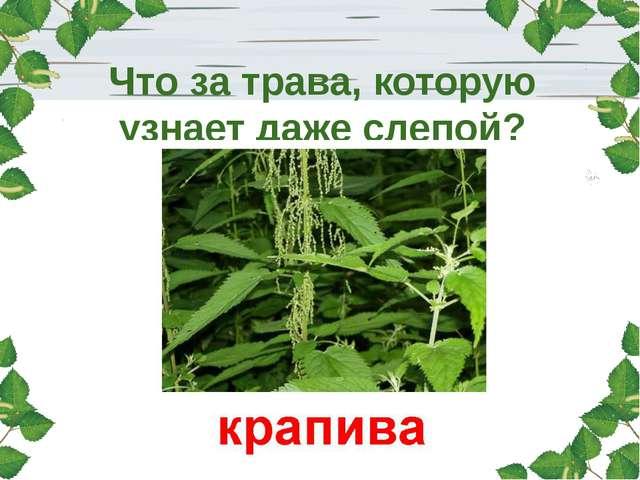 Что за трава, которую узнает даже слепой?