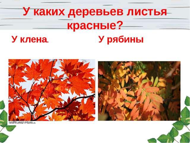 У каких деревьев листья красные? У клена. У рябины