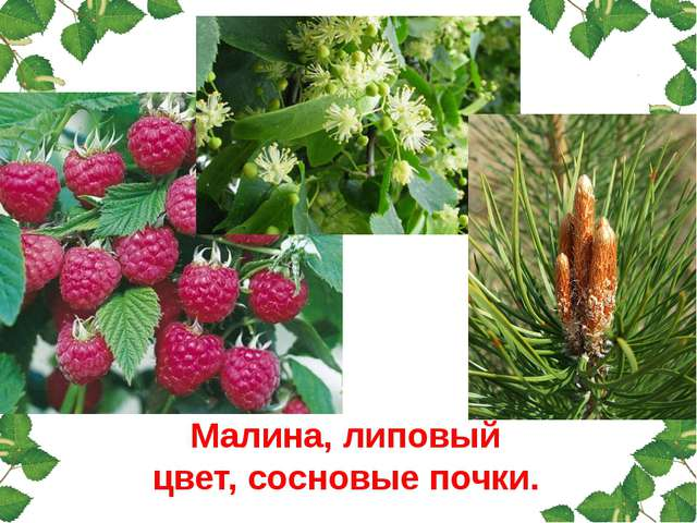 Малина, липовый цвет, сосновые почки.