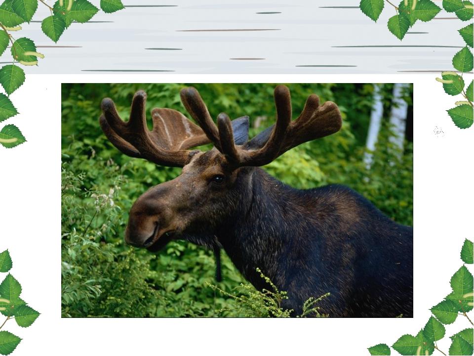 Трав копытами касаясь, Ходит по лесу красавец. Ходит смело и легко, Рога рас...