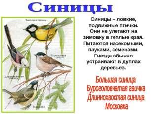 Синицы – ловкие, подвижные птички. Они не улетают на зимовку в теплые края. П