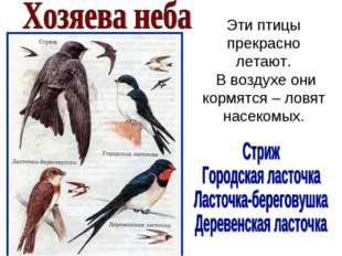 Эти птицы прекрасно летают. В воздухе они кормятся – ловят насекомых.