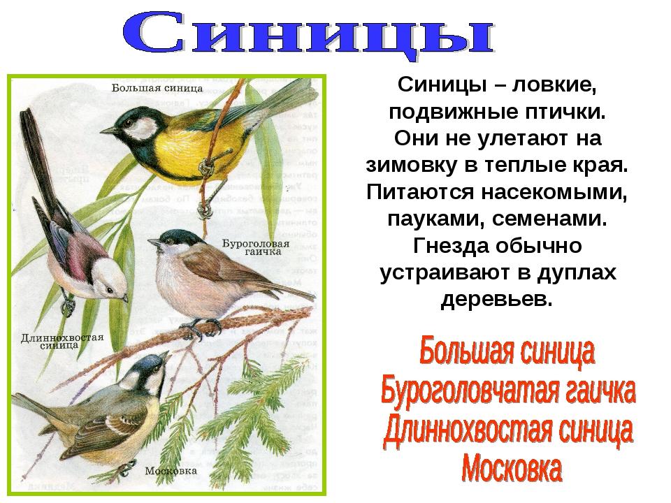 Синицы – ловкие, подвижные птички. Они не улетают на зимовку в теплые края. П...