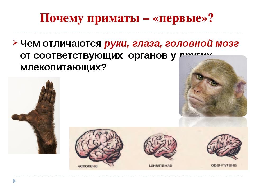 Почему приматы – «первые»? Чем отличаются руки, глаза, головной мозг от соотв...