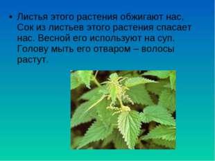 Листья этого растения обжигают нас, Сок из листьев этого растения спасает нас