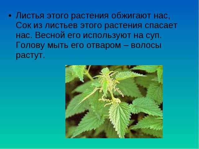 Листья этого растения обжигают нас, Сок из листьев этого растения спасает нас...