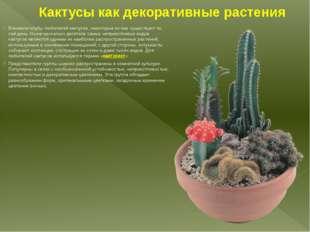 Кактусы как декоративные растения Возникли клубы любителей кактусов, некоторы