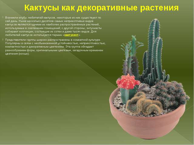 Кактусы как декоративные растения Возникли клубы любителей кактусов, некоторы...
