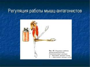 Регуляция работы мышц-антагонистов