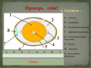 А – халаза; Б – скорлупа; В – воздушная камера; Г – зародышевый диск; Д – под