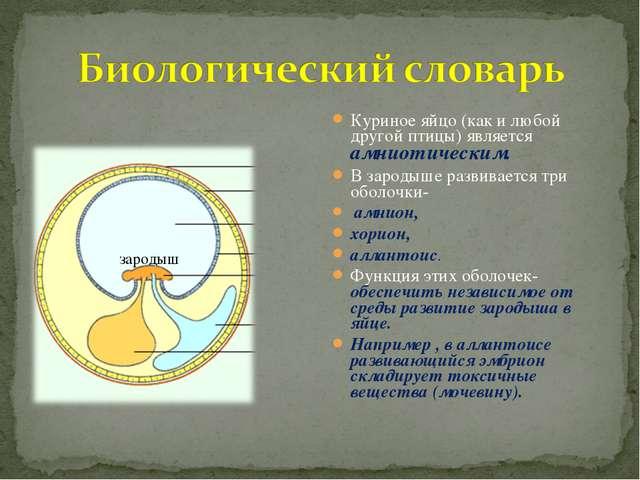 Куриное яйцо (как и любой другой птицы) является амниотическим. В зародыше ра...
