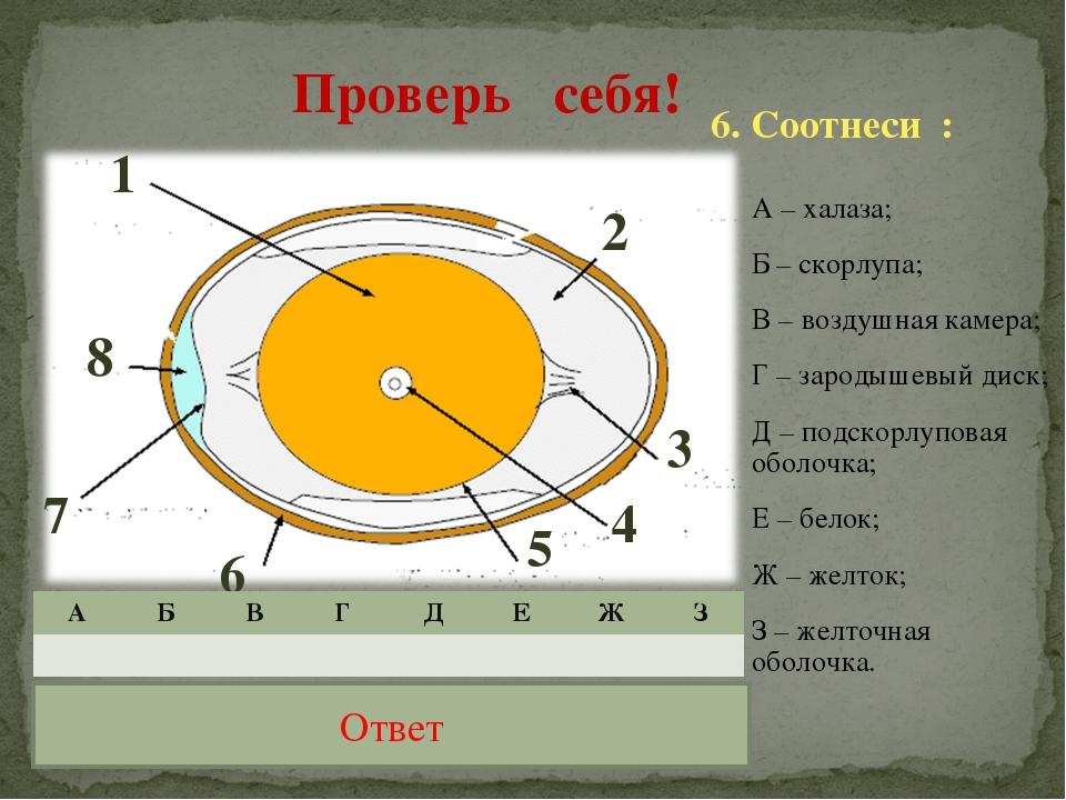 А – халаза; Б – скорлупа; В – воздушная камера; Г – зародышевый диск; Д – под...