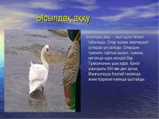 Ысылдақ аққу Ысылдақ аққу - жыл құсы болып табылады. Олар жазық жерлердегі с