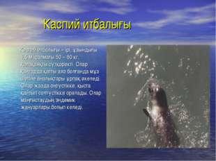 Каспий итбалығы Каспий итбалығы – ірі, ұзындығы 1,5 м, салмағы 50 – 60 кг, қ