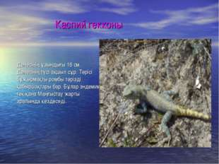 Каспий гекконы Денесінің ұзындығы 16 см. Денесінің түсі ақшыл сұр. Терісі бұ