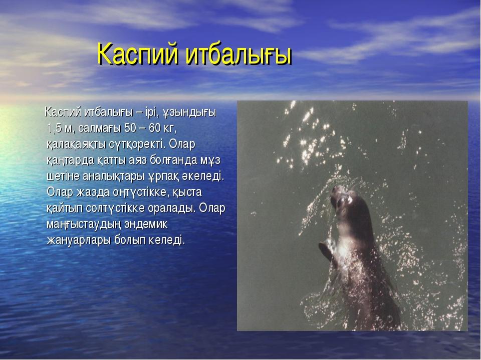 Каспий итбалығы Каспий итбалығы – ірі, ұзындығы 1,5 м, салмағы 50 – 60 кг, қ...