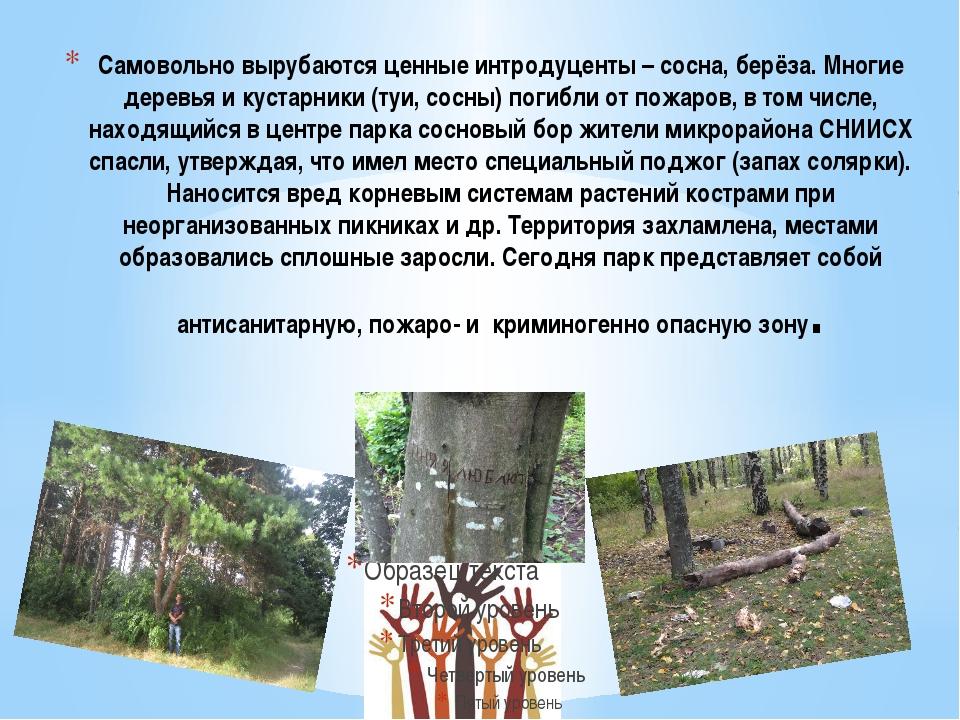 Самовольно вырубаются ценные интродуценты – сосна, берёза. Многие деревья и к...