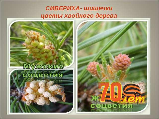 СИВЕРИХА- шишечки цветы хвойного дерева