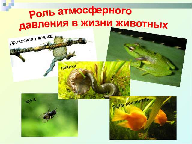 древесная лягушка пиявка муха Рыба-прилипала