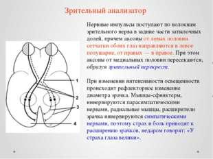 Нервные импульсы поступают по волокнам зрительного нерва в задние части затыл