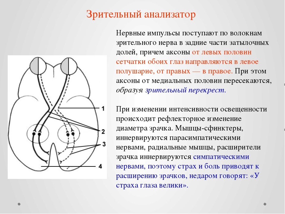 Нервные импульсы поступают по волокнам зрительного нерва в задние части затыл...