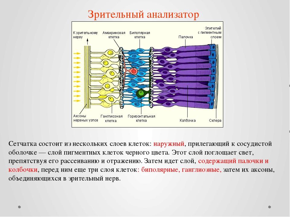 Сетчатка состоит из нескольких слоев клеток: наружный, прилегающий к сосудист...